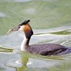De fuut, de duikboot onder de watervogels