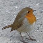 Het roodborstje, een opmerkelijke gast in je tuin