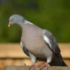 Veel voorkomende duif: de houtduif