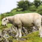 Parasiet leverbot: in Nederland vooral bij schapen