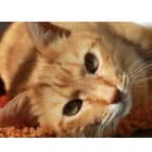 Kaalheid bij katten (alopecia)
