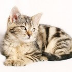 Kattenziekte: Hyperthyroïdie (aandoening schildklier)