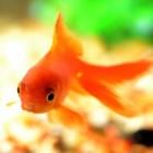 Ziekten en kwaaltjes bij goudvissen