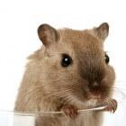 Ziekten en kwaaltjes bij hamsters