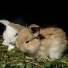 Een worminfectie bij konijnen