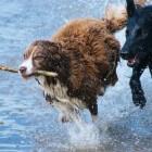Alledaagse verwondingen hond: hoe te behandelen