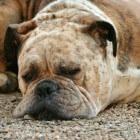 Uitdrogingsverschijnselen hond: herkennen uitdroging hond