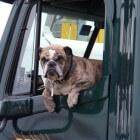 Aandoeningen hond: zonnesteek