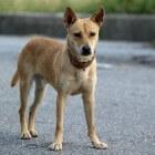 prostatitis hond