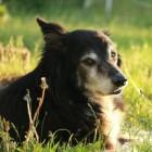 Aandoeningen hond: hartziekte
