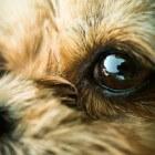 Aandoeningen hond: droge ogen