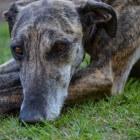 Aandoeningen hond: ligplekken en leggers
