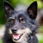 Aandoeningen hond: oorproblemen
