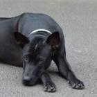 Aandoeningen hond: elleboogdysplasie (ED)
