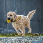 Aandoeningen hond: losse knieschijf