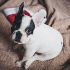 Aandoeningen hond: gescheurde kruisband