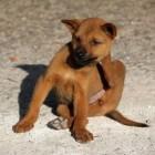 Aandoeningen hond: jeuk en krabben
