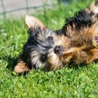 Aandoeningen hond: atopie (allergie)