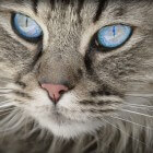 Aandoeningen kat: oogontsteking