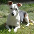 Aandoeningen hond: melkkliertumor