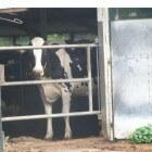 Melkziekte en slepende melkziekte bij koeien