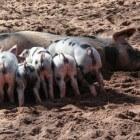 Parvo bij huisdieren en varkens