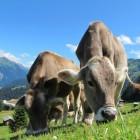 Kopziekte bij koeien en schapen