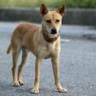 Ziekten hond: goedaardig prostaataandoening bij de reu