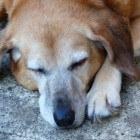Dementie bij de hond