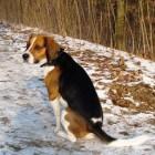 Aandoeningen hond: urineverlies
