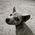 Aandoeningen hond: doofheid