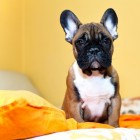 Gezondheidsproblemen bij de hond: De bovenste luchtwegen