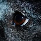 Veelvoorkomende oogziektes bij de hond