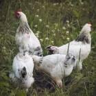 De symptomen en de behandeling van kippenziektes
