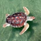 Drijfziekte bij zeeschildpadden