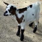 Ziektes bij geiten: caprine arthritis encefalitis (CAE)