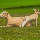 Witte spierziekte door tekort selenium (schapen en kalveren)