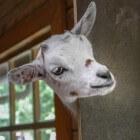 Ziektes bij de geit: zere bekjes of ecthyma