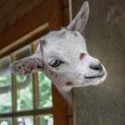 Ziektes bij de geit: uierontsteking, mastitis of blauwuier