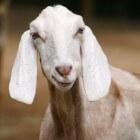 Ziektes bij de geit: trommelzucht, gasbuik of tympanie
