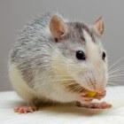 Tumoren bij ratten: soorten, voorkomen en oplossen