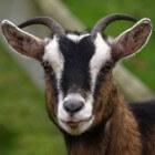 Ziektes bij de geit: MKZ of mond-en-klauwzeer