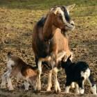 Ziektes bij de geit: diarree