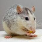 Hersentumor bij de tamme rat