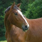 Warmblood Fragile Foal Syndrome (WFFS) onder paarden