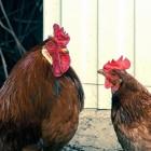 Snot bij kippen: herkennen en behandelen van de ziekte
