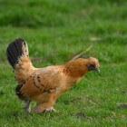 De vogelgriep (H5N1)