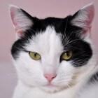 Symptomen van kanker of tumoren bij katten herkennen