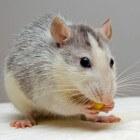 Ziekten bij de tamme rat: hoe te herkennen?