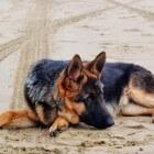 Degeneratieve Myelopathie, verlammingsziekte bij honden